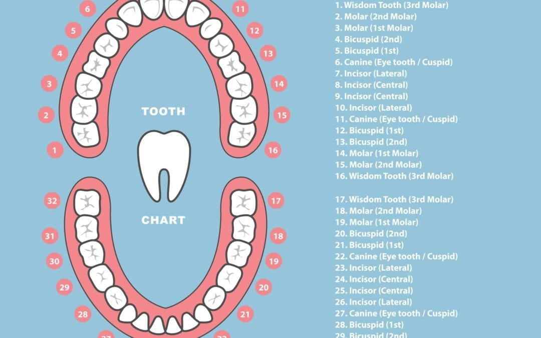 The Different Shapes and Functions of Your Teeth